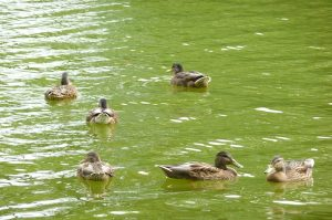 Enten Bad Hersfeld-2 (1)